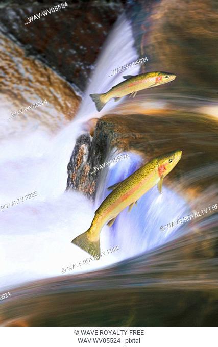 Miigrating Steelhead Salmon leaping over falls