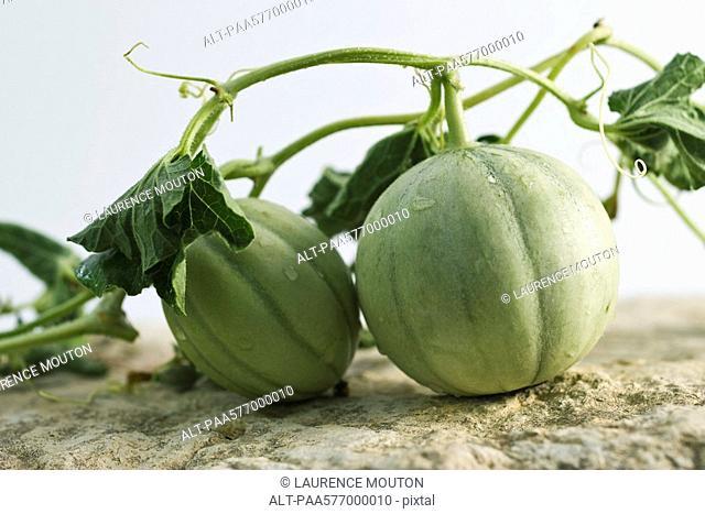 Melons on vine