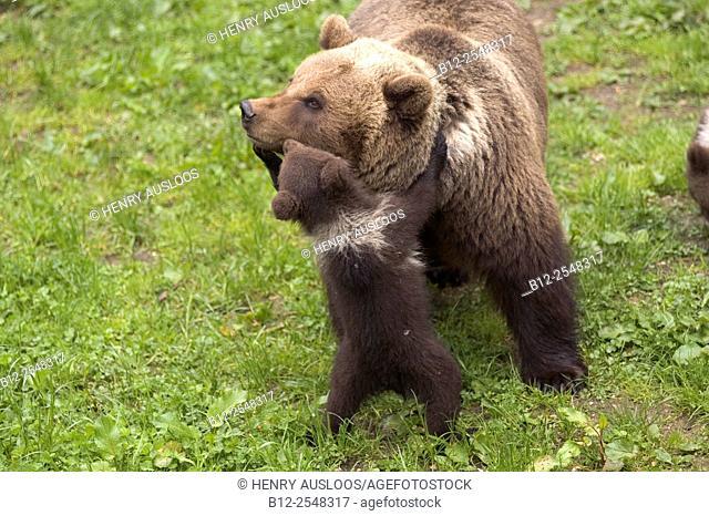 European Brown Bear (Ursus arctos), Mother and cub
