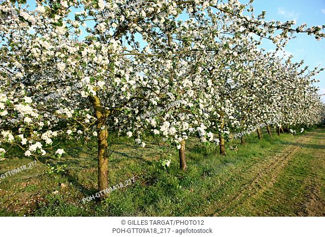 tourism, France, upper normandy, eure, bretigny, apple tree flowers, orchard, agriculture, cider, calva, blossoming tree, spring, cider culture