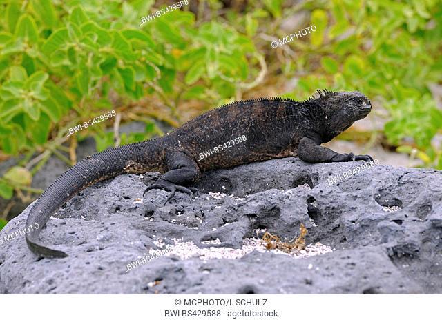 Santiago marine iguana (Amblyrhynchus cristatus mertensi, Amblyrhynchus cristatus ssp. mertensi), marine iguana lying on a rock at the coast, side view, Ecuador