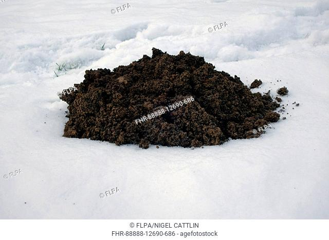 European Mole (Talpa europaea) molehill, on snow covered garden lawn, Berkshire, England, February