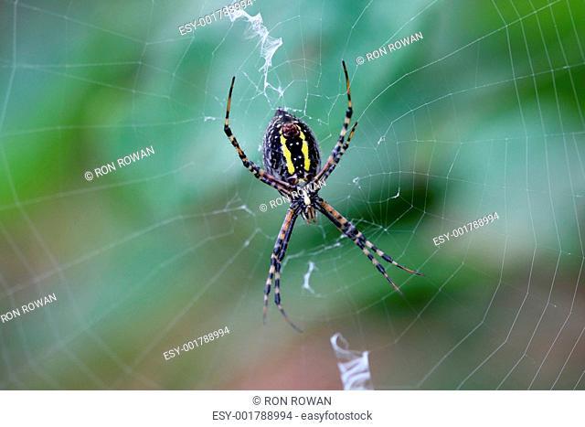 Banded Garden Spider female argiope trifasciata