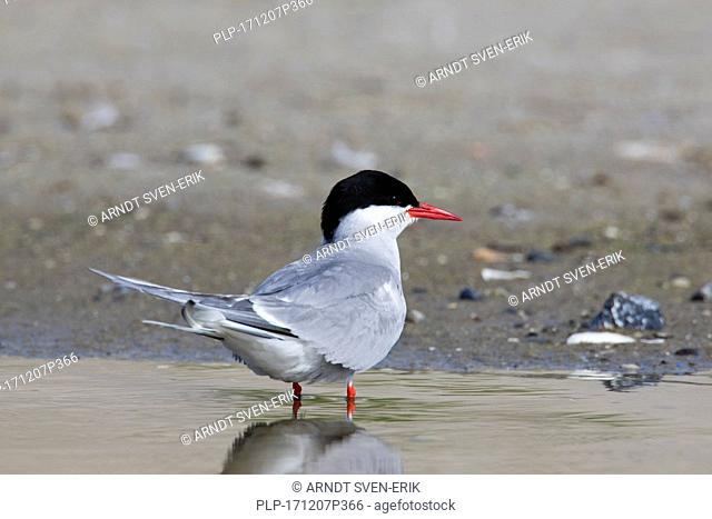 Arctic tern (Sterna paradisaea) in breeding plumage on beach in summer