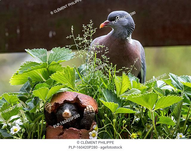 Mole figurine hiding in broken flowerpot from common wood pigeon (Columba palumbus) in garden