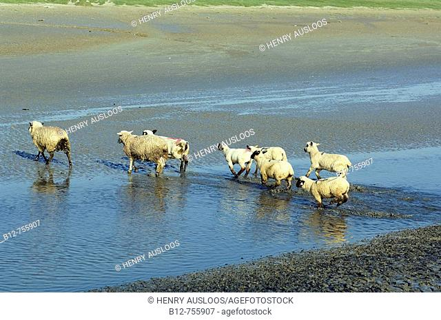 Sheeps, Bay of the Somme, France