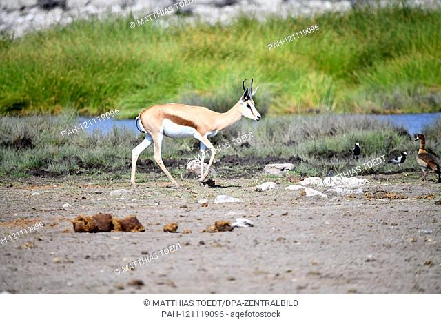 Springbok (Antidorcas marsupialis) in the Namibian Etosha National Park runs past a water hole. This antelope species is distributed exclusively throughout...