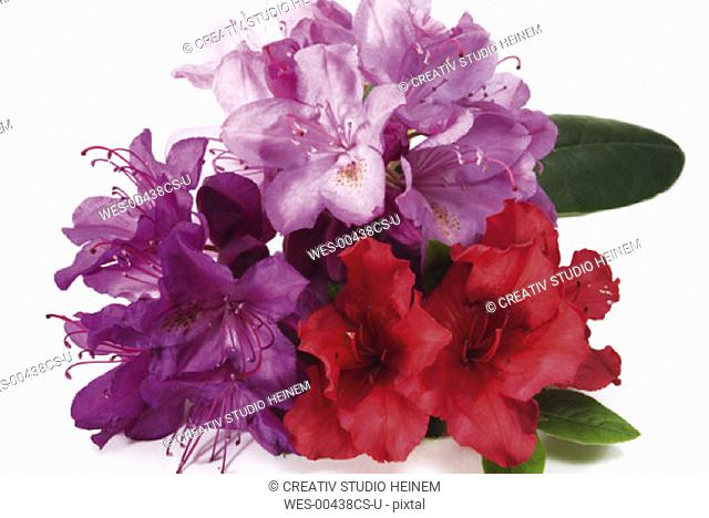 Rhododendron and Azalea flowers rhododendron ssp