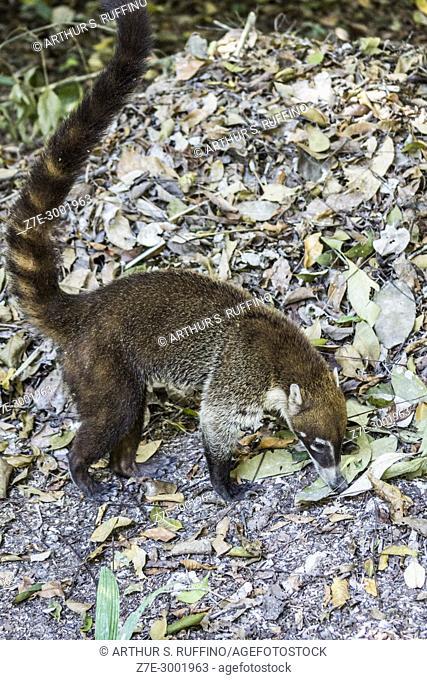 Guatemalan pizote (coati, Nasua nasua) foraging, Tikal, Guatemala, Central America