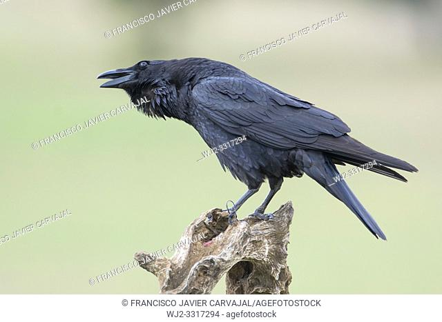 Common raven, (Corvus corax) on a trunk in the meadow of Extremadura, Spain