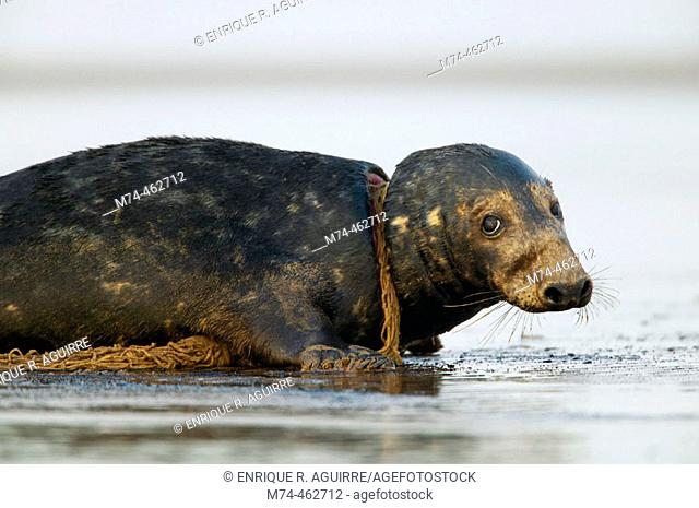 Grey Seal (Halichoerus grypus) trapped in a net