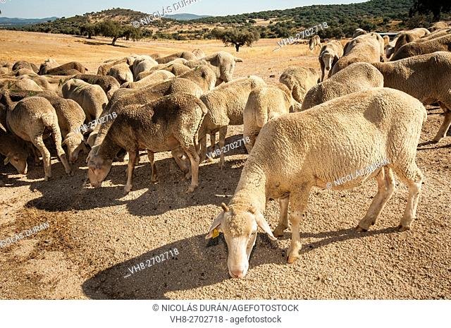 Merina sheep in summer. Alburquerque. Badajoz Province. Extremadura. Spain