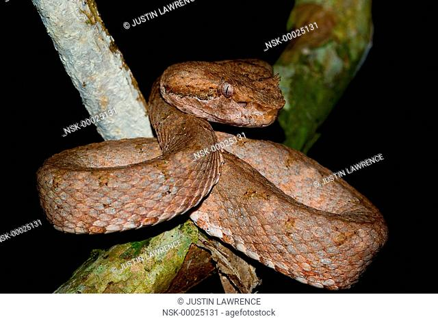 Eyelash Pit Viper (Bothriechis schlegelii) waiting for prey, Panama