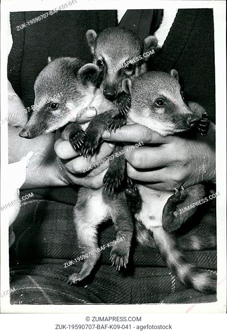 Jul. 07, 1959 - Pancho - Pablo and Papita - make their public debut. Coati Mundi Babies at Battersea Park Zoo: To be seen at the B attersea Park Zoo this...