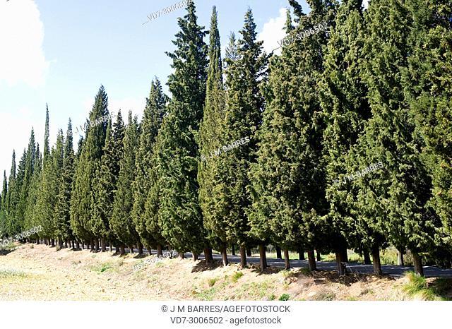 Mediterranean or Italian cypress (Cupressus sempervirens) is a evergreen tree native to eastern Mediterranean region. This photo was taken in Tinença de...