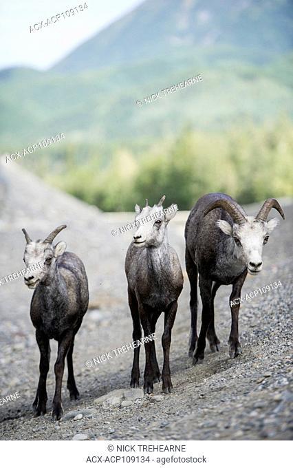 Male and Female Stone Sheep, Northern British Columbia, Canada