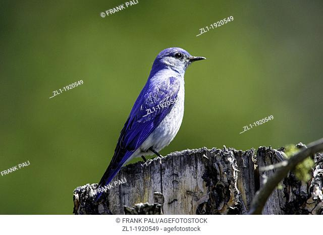 The Mountain Bluebird is migratory  Their range varies from Mexico in the winter to as far north as Alaska, throughout the western U S  and Canada  Northern...