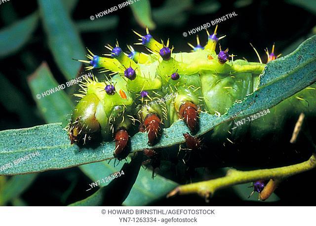 Emperor gum moth Caterpillar Opodiphthera eucalypti devouring leaf