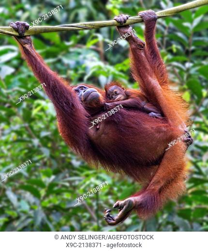 A Mother and Baby Orangutan ( Pongo pygmaeus ) Hanging on a Rope in Borneo, Malaysia