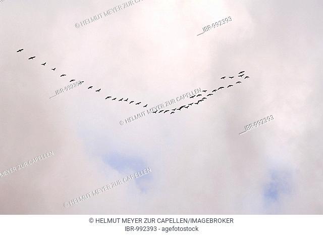 Ducks (Anas spec.) heading south