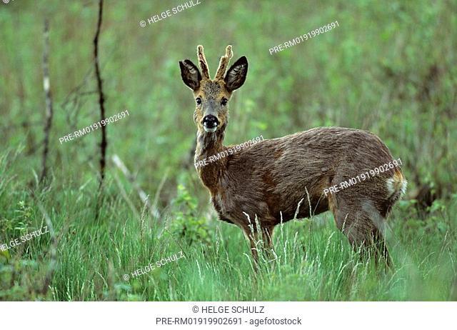 Roe Deer, male, Capreolus capreolus