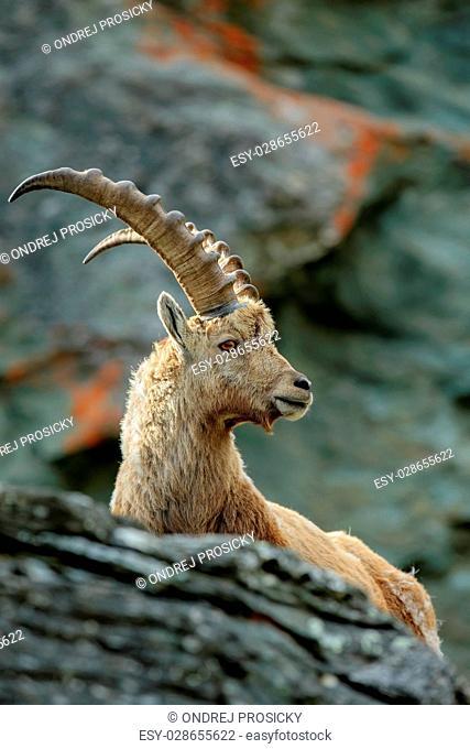Portrait of antler Alpine Ibex, Capra ibex