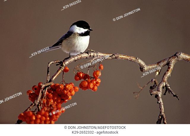 Black-capped chickadee (Poecille atricapillus) in winter on mountain ash twig, Greater Sudbury, Ontario, Canada