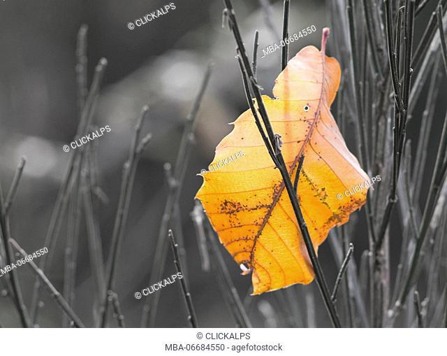Chesnutt leaf in autumn, Culmine di Dazio, Valtellina, Lombardy, Italy