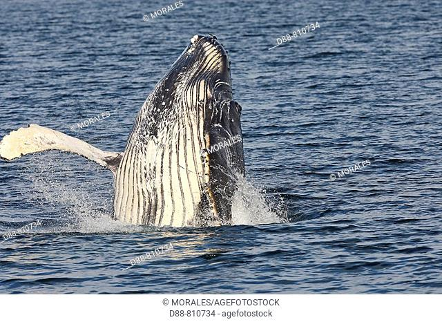 Humpback whale (Megaptera novaeangliae) leaping into the air, rotating and landing on its back or side to create a chin-slap