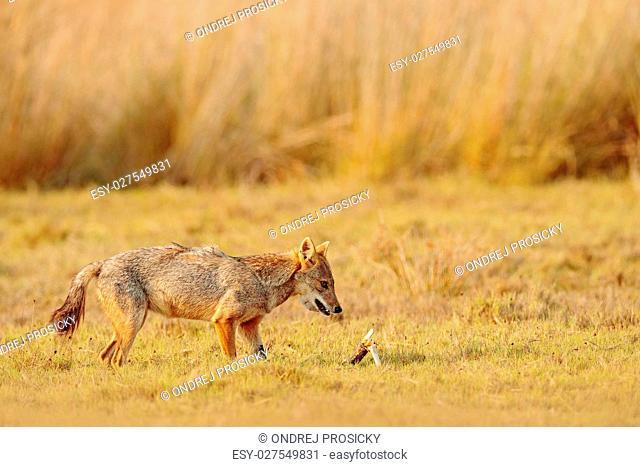Golden Jackal, Canis aureus