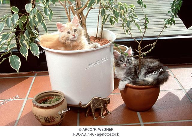 Maine Coon Cats kitten in flowerpots