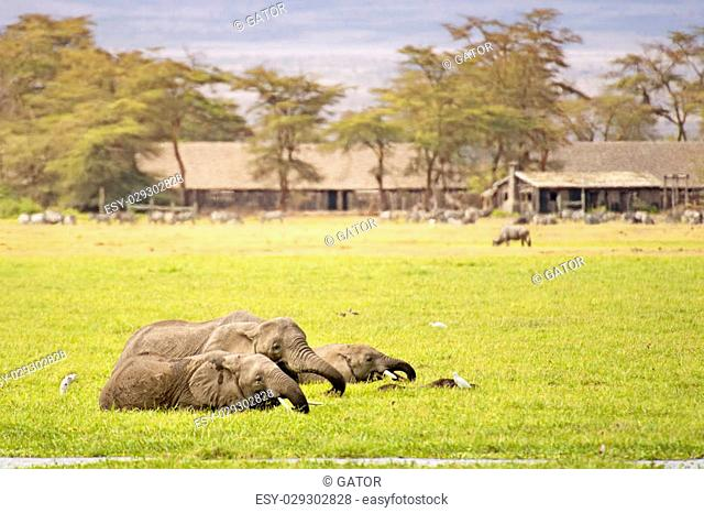 Group of african elephants wade in swamp close to village while feeding fresh grass , Amboseli National Reserve, Kenya
