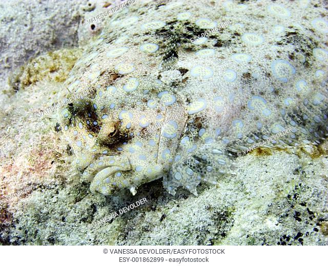 Peacock flounder in the Caribbean sea around Bonaire