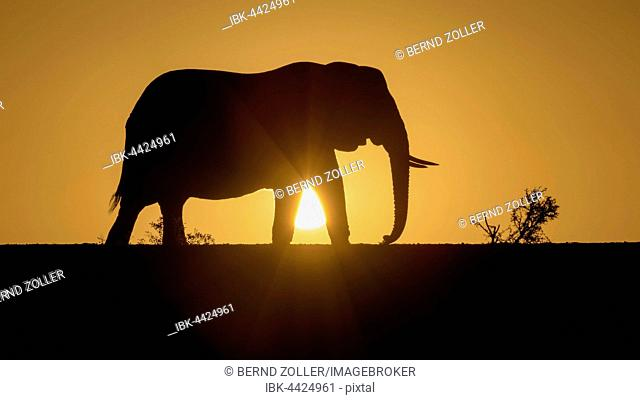 African elephant (Loxodonta africana), silhouette at sunset, Zimanga Private Game Reserve, KwaZulu-Natal, South Africa
