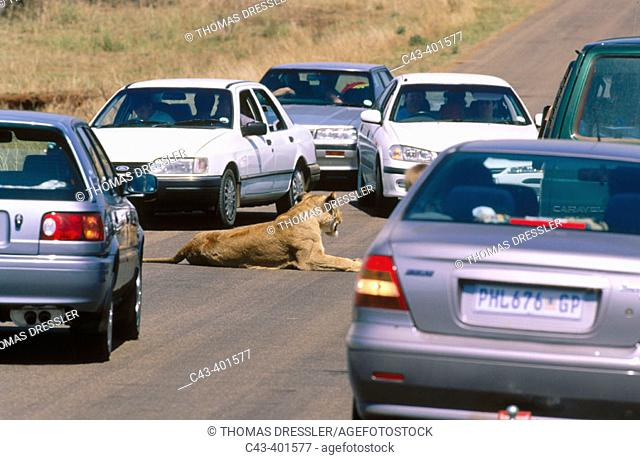 Lion (Panthera leo). Female and tourist vehicles. Kruger National Park. South Africa