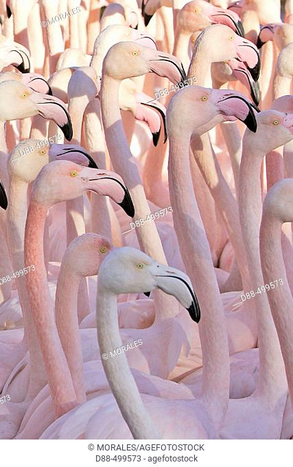 Greater Flamingo (Phoenicopterus ruber). Bouches du Rhone. France