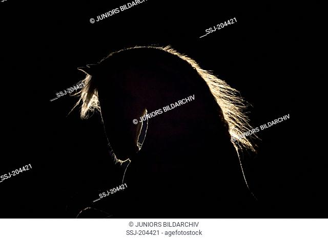 Alter Real. Portrait of stallion in backlight, seen against a black background. Germany