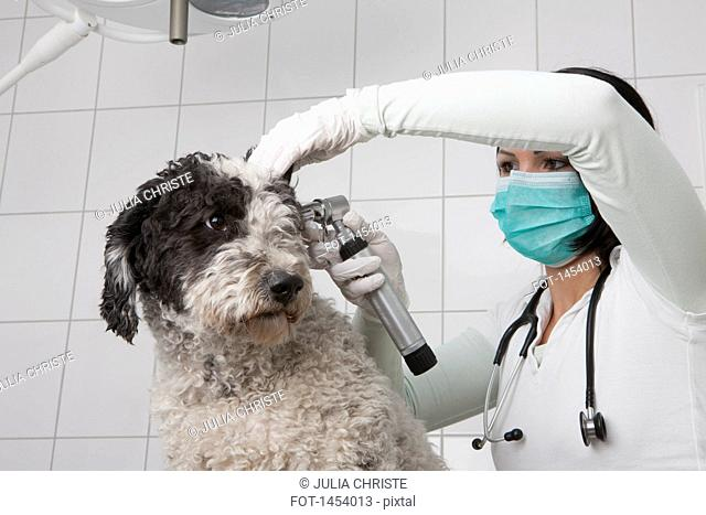 Female veterinarian examining dog's ear with otoscope in clinic