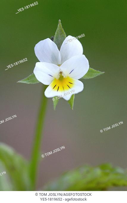 Wild field pansy Viola arvensis flower , England , UK