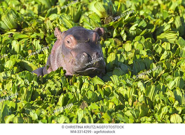 Young Hippopotamus (Hippopotamus amphibus) in a pond covered with water lettuce, Masai Mara National Reserve, Kenya, Africa