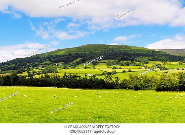 Sheep grazing in a meadow below the peak of Pen Cerrig-calch in the Brecon Beacons National Park near Crickhowell in the Usk valley