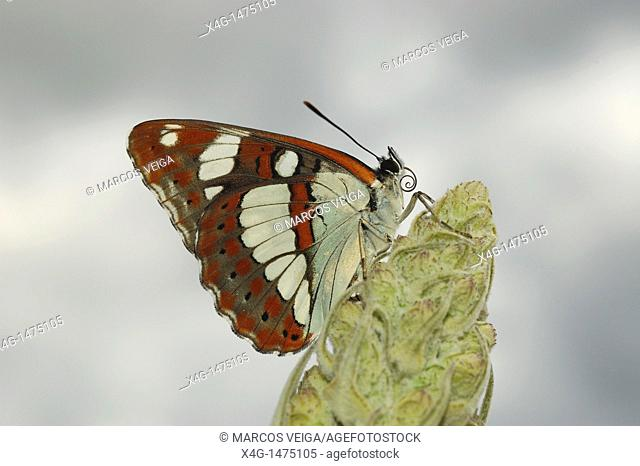 Southern White Admiral Limenitis reducta