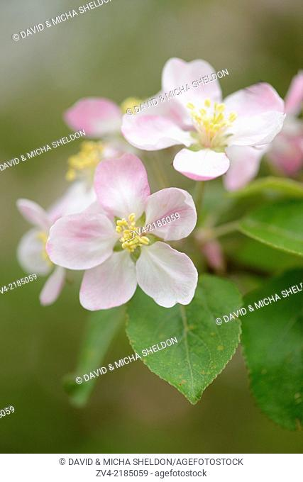 Close-up of apple (malus) tree blossoms in spring