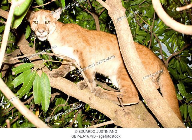 Puma (Puma concolor) Burrowed, Aquidauana, Mato Grosso do Sul, Brazil