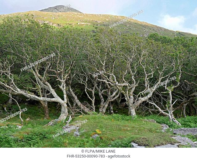 Sessile Oak (Quercus petraea) dwarfed woodland habitat, bent and stunted by wind, Isle of Mull, Inner Hebrides, Scotland, July