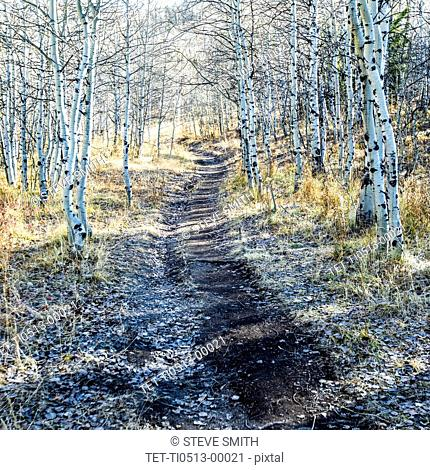 Path through aspen forest