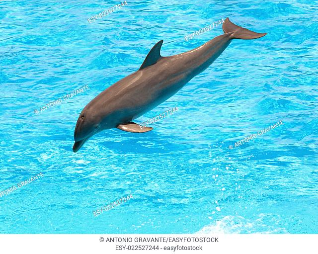 Dolphin jumping in the pool during acrobatic show