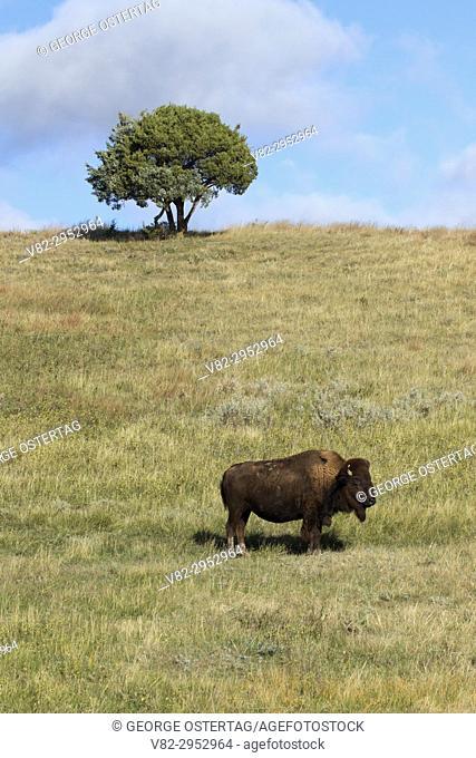 Bison, Theodore Roosevelt National Park-South Unit, North Dakota
