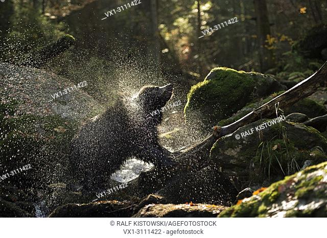 European Brown Bear / Europäischer Braunbär (Ursus arctos ) stands upon a tree trunk in a wild creek, shaking water off his pelt, backlight situation