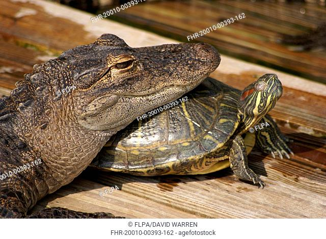 American Alligator (Alligator mississipiensis) juvenile, close-up of head, resting on Red-eared Turtle (Trachemys scripta elegans) adult, Florida, U.S